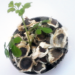 Moringa Seeds - PKM-1 Moringa Plantation Seeds Exporter