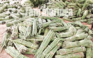 buy moringa fruit