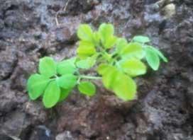moringa pkm1 seeds