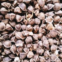 moringa wingless seeds